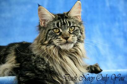 N 22 Maine Coon Only You was born 28 07 2009